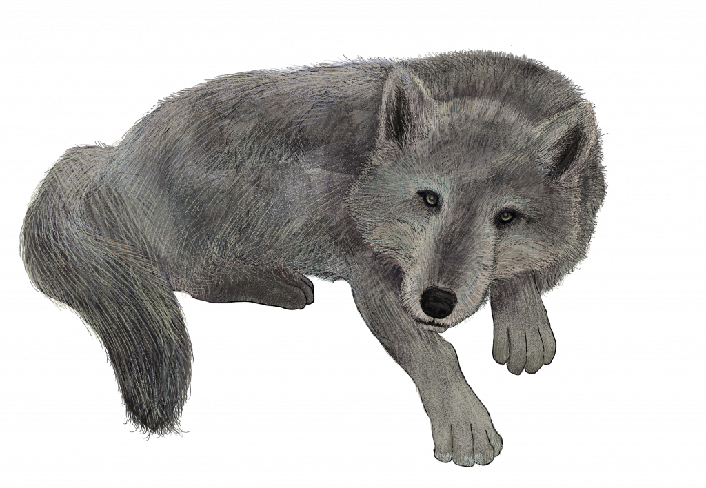 寝ポーズのオオカミの無料イラスト