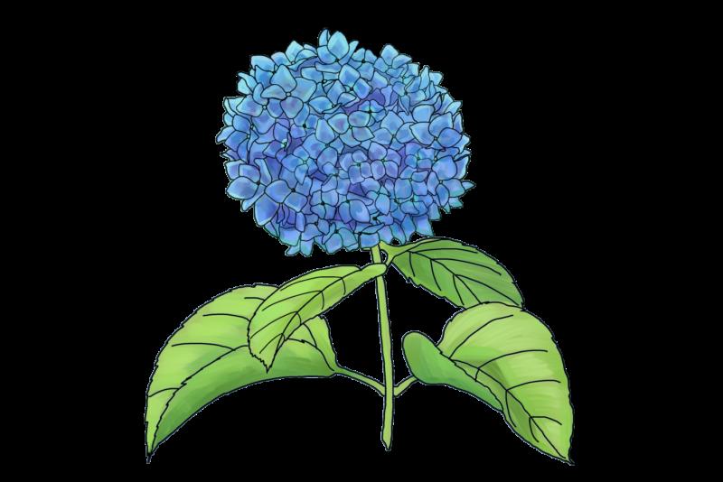 紫陽花のフリーイラスト